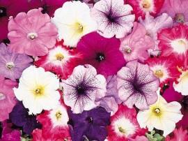 petunia-hybrida-flori-curgatoare-de-gradina si balcon