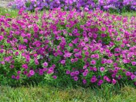 petunia-hybrida-flori-curgatoare-de-gradina