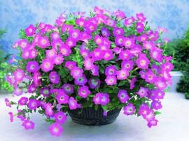 petunia-hybrida-flori-curgatoare-de-gradina si balcoane