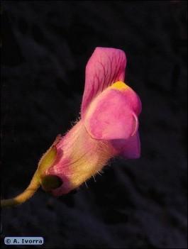 Flori de gradina detaliu floare gura leului