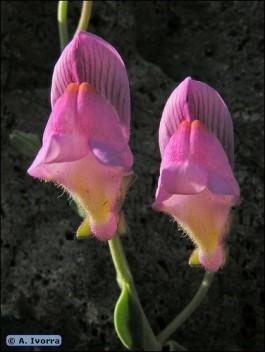 Flori de gradina detaliu flori