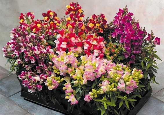 Flori de gradina - ghivece cu Gura Leului