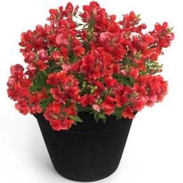 flori rosii de gradina ghiveci cu gura leului