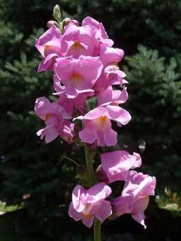flori roz de gradina gura leului