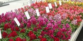 imagini cu flori de gradina poze flori gura leului