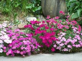 jardiniere cu flori garofita de gradina dianthus