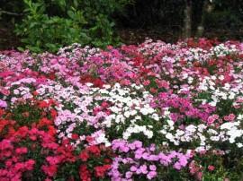 imagini cu flori dianthus garofite