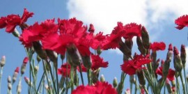 GaroafaGarofitele-Dianthus-Florile lui Zeus