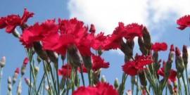 Garoafa–Garofitele-Dianthus-Florile lui Zeus