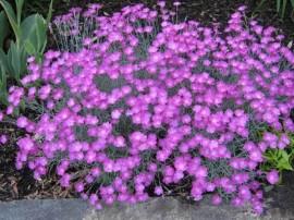 poze cu flori de gradina dianthus garofite