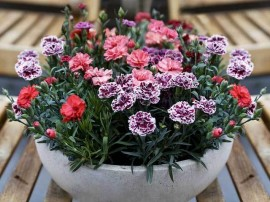 poze cu flori de garofite dianthus