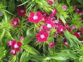 poze imagini cu garofite de gradina dianthus