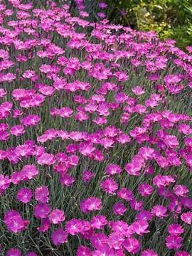 camp plin cu flori cyclam garofite dianthus