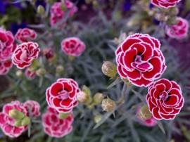 imagine cu flori de gradina garofita dianthus