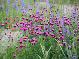 flori de gradina camp cu flori garofite dianthus