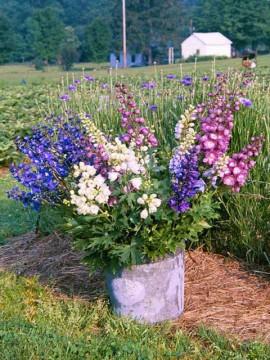 poze-imagini-flori-de-gradina-nemtisorul-Delphinium