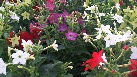 regina-noptii-nicotiana-flori-parfumate-de-gradina poze cu flori