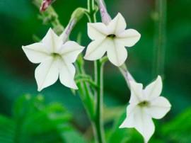 poze imagini cu flori de gradina regina noptii nicotiana