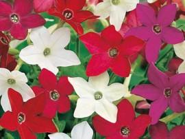 poze si imagini cu flori de gradina nicotiana regina noptii