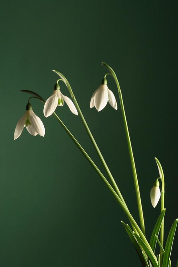 poze cu ghiocei flori de primavara