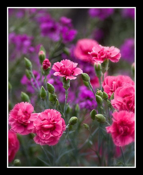 flori de primavara poze imagini frumoase superbe