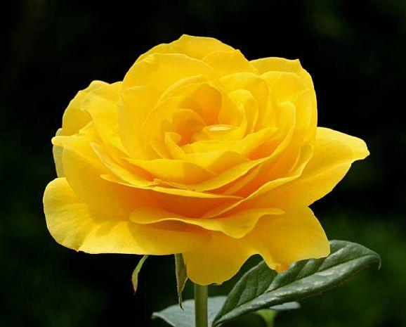 poze imagini cu flori cei mai frumosi trandafiri