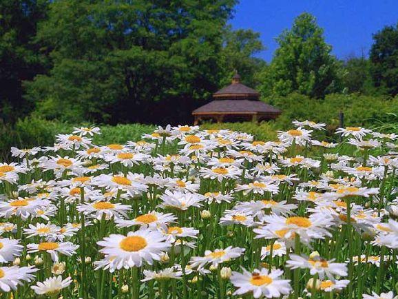 margarete imagini cu flori deosebite