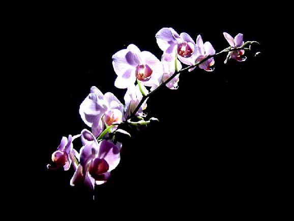 poze imagini orhidee cele mai frumoase flori exotice