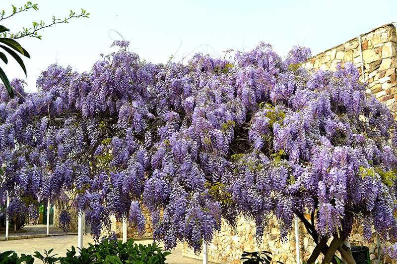 planta cataratoare cu flori mov foarte parfumate glicina wisteria sinensis