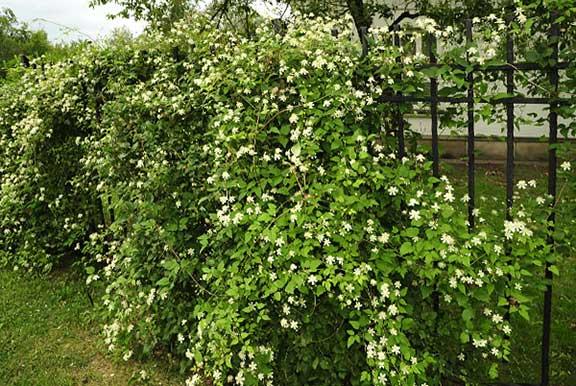 clematite flori mici albe foarte parfumate