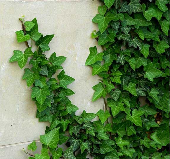 iedera hedera helix specie de planta cataratoare vesnic verde