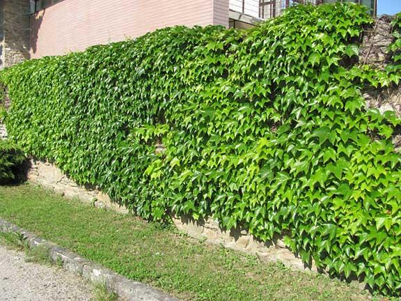 planta cataratoare care imbraca zidurile toamna frunzele sunt rosii