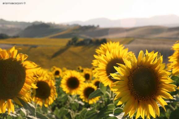 Floarea soarelui in plina vara peisaj superb