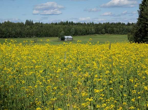Camp cu flori galbene in plina vara