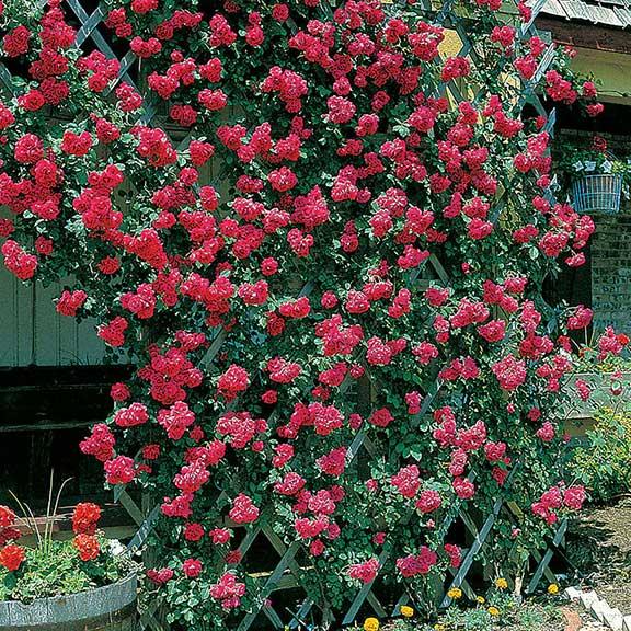 trandafiri rosii cataratori