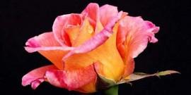 poza imagine cu trandafir rosu
