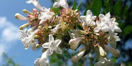 foto imagine floare abelia grandiflora