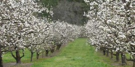 aliniament ciresi in floare primavara