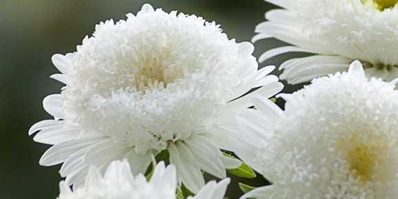 imagine cu floare alba de gradina - Ochiul boului-Callistephus-chinensis