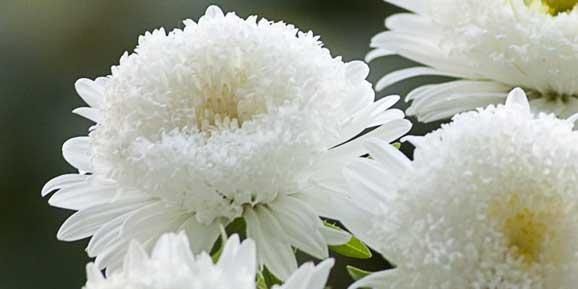 Ochiul Boului Callistephus Floarea Cu Cea Mai Frumoasa Cununa